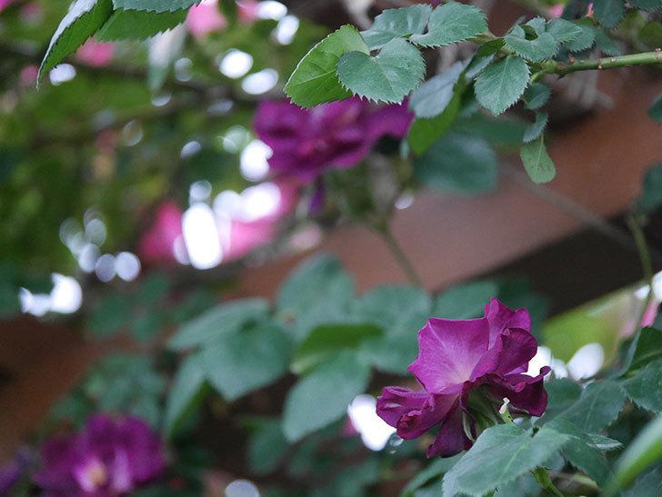 ソニャドール(ツルバラ)の花が満開になった。2020年-008.jpg