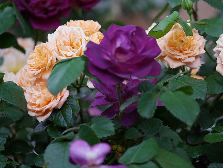 ソニャドール(ツルバラ)の花が満開になった。2020年-009.jpg