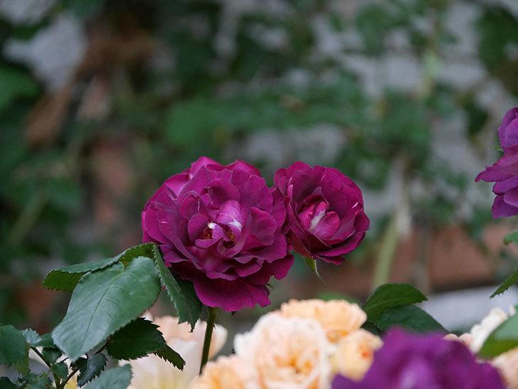 ソニャドール(ツルバラ)の花が満開になった。2020年-010.jpg