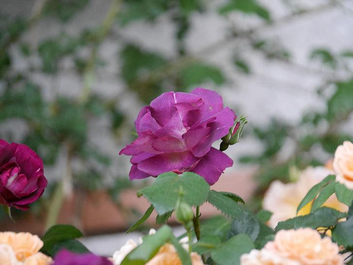 ソニャドール(ツルバラ)の花が満開になった。2020年-011.jpg