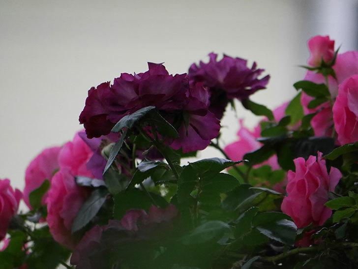 ソニャドール(ツルバラ)の花が満開になった。2020年-012.jpg