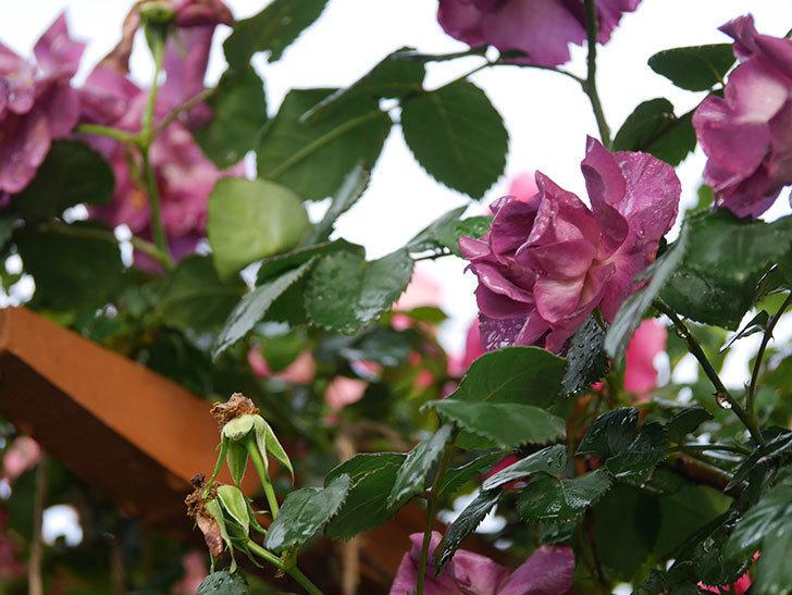ソニャドール(ツルバラ)の花が満開になった。2020年-013.jpg