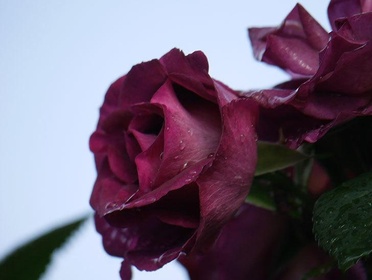 ソニャドール(ツルバラ)の花が満開になった。2020年-015.jpg