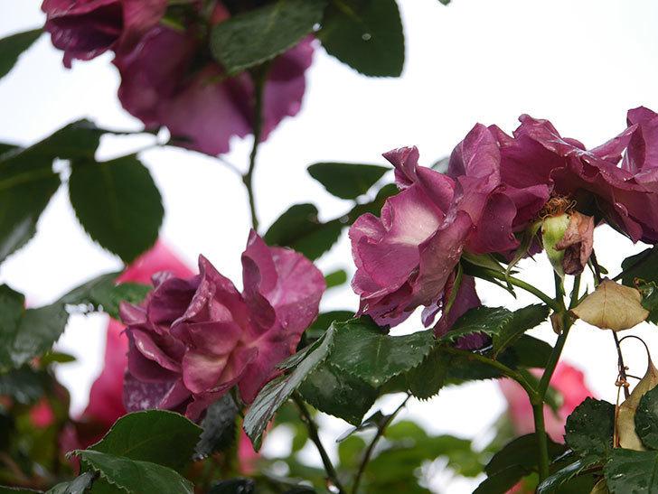 ソニャドール(ツルバラ)の花が満開になった。2020年-017.jpg
