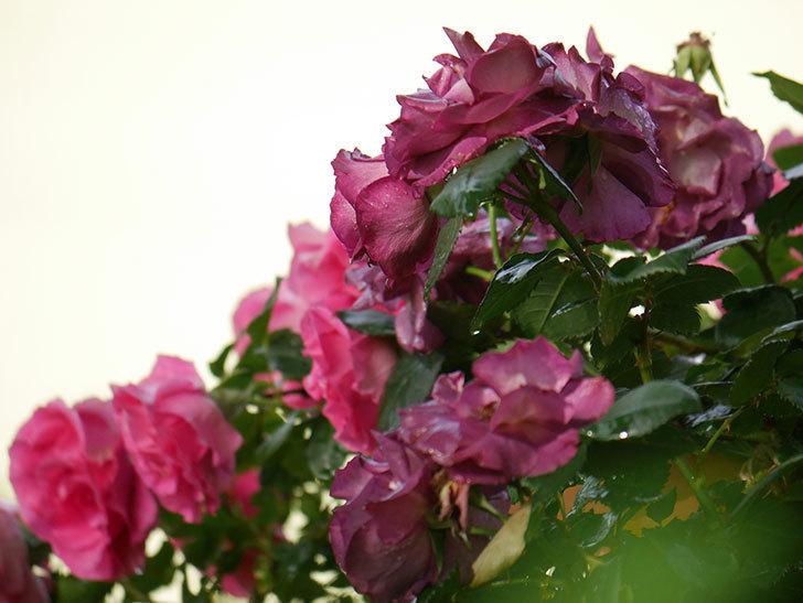 ソニャドール(ツルバラ)の花が満開になった。2020年-018.jpg