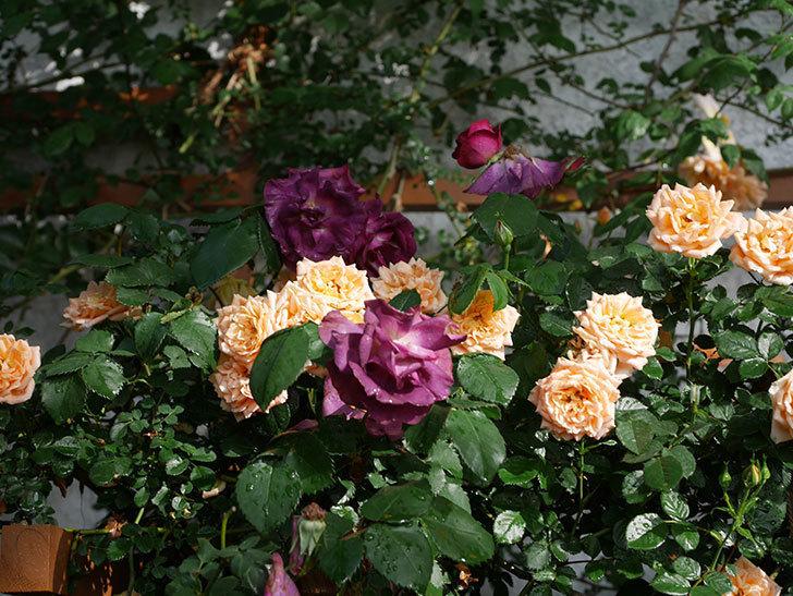 ソニャドール(ツルバラ)の花が満開になった。2020年-019.jpg