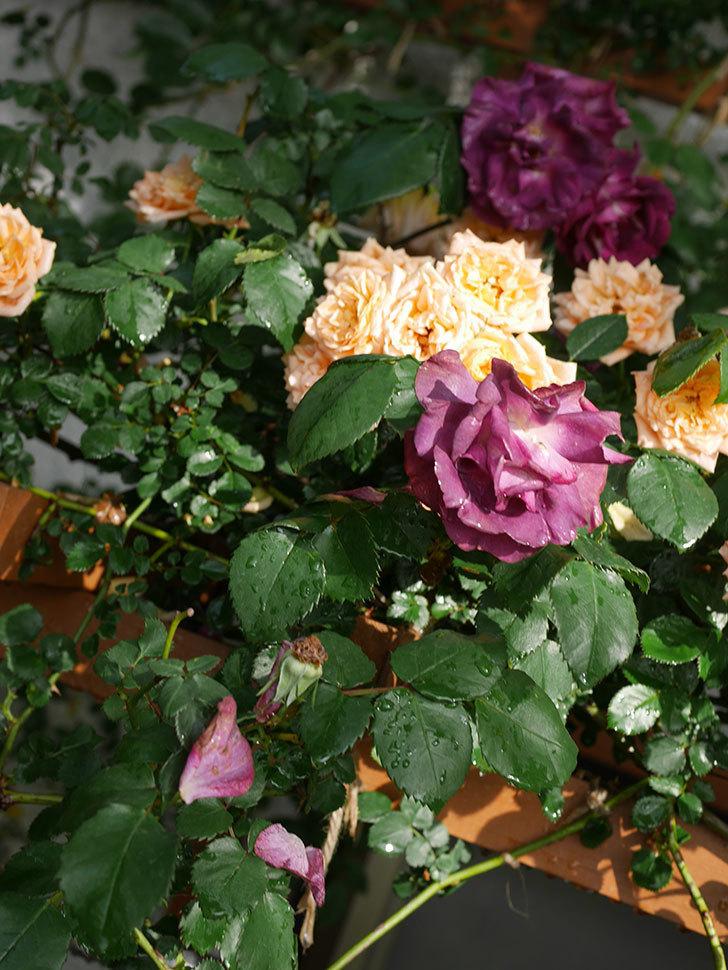 ソニャドール(ツルバラ)の花が満開になった。2020年-020.jpg