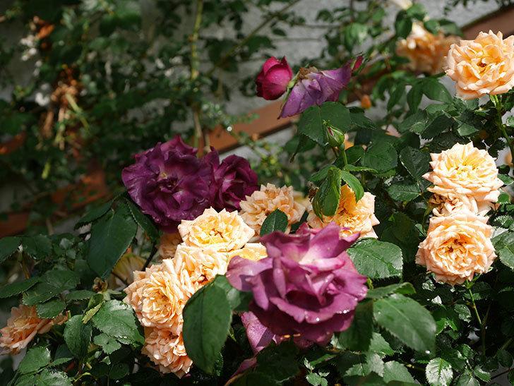 ソニャドール(ツルバラ)の花が満開になった。2020年-021.jpg