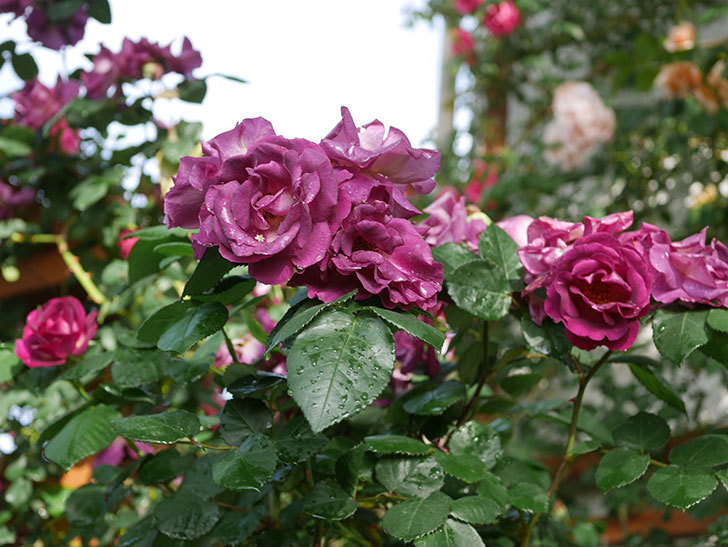 ソニャドール(ツルバラ)の花が満開になった。2020年-022.jpg