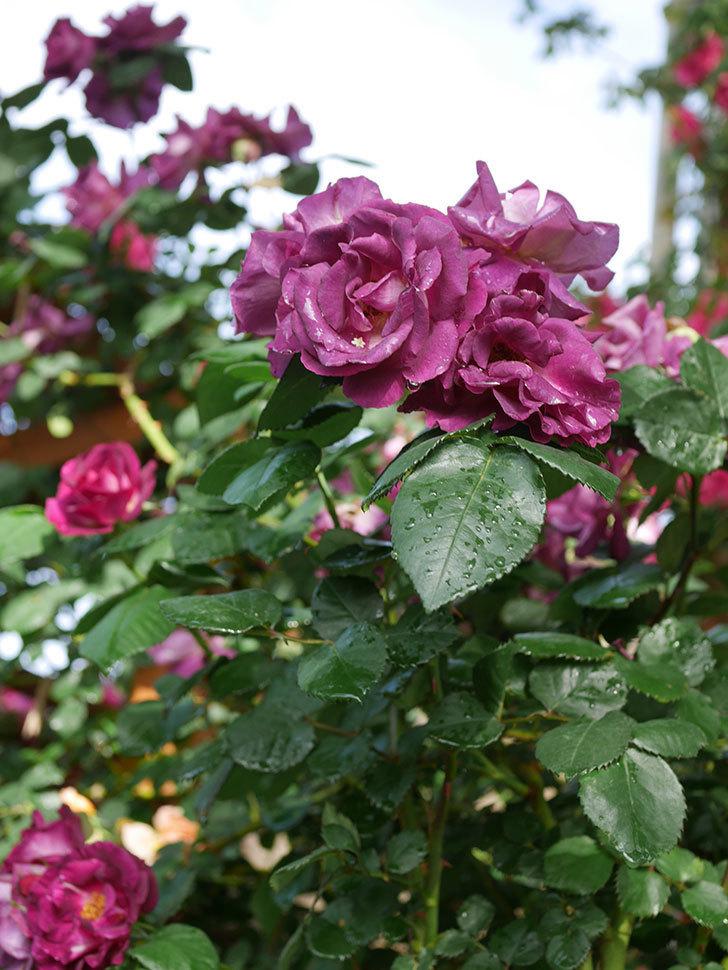 ソニャドール(ツルバラ)の花が満開になった。2020年-024.jpg