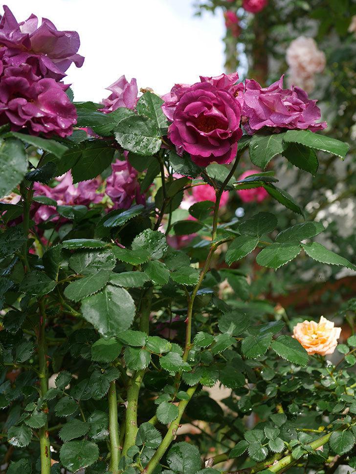 ソニャドール(ツルバラ)の花が満開になった。2020年-025.jpg
