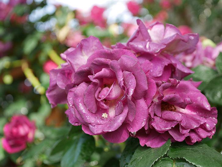 ソニャドール(ツルバラ)の花が満開になった。2020年-027.jpg