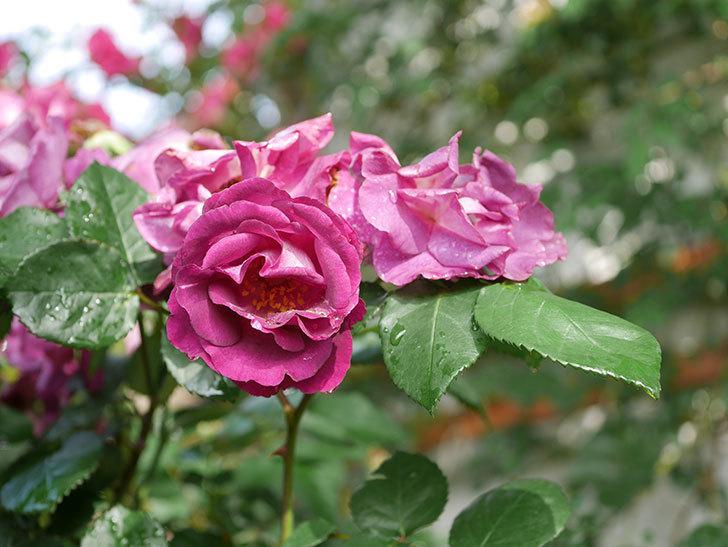 ソニャドール(ツルバラ)の花が満開になった。2020年-028.jpg