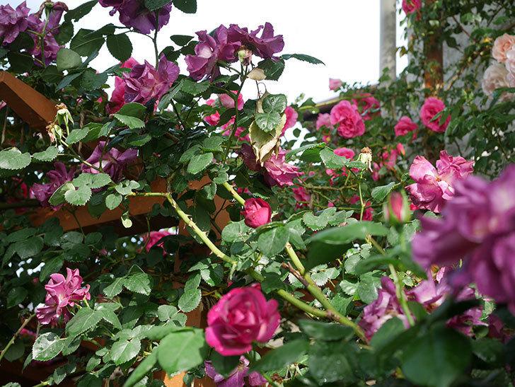 ソニャドール(ツルバラ)の花が満開になった。2020年-029.jpg