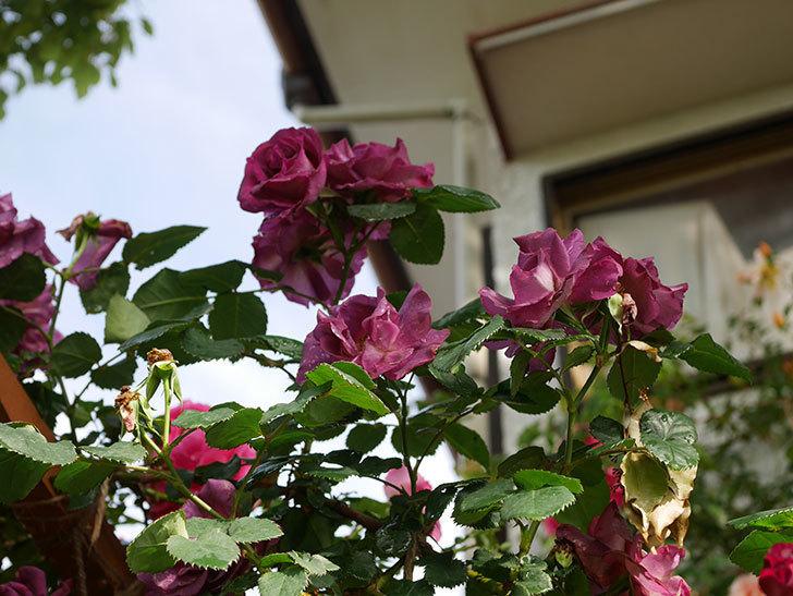 ソニャドール(ツルバラ)の花が満開になった。2020年-030.jpg