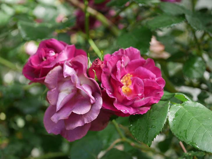 ソニャドール(ツルバラ)の花が満開になった。2020年-031.jpg