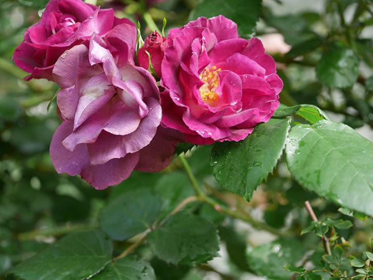 ソニャドール(ツルバラ)の花が満開になった。2020年-032.jpg