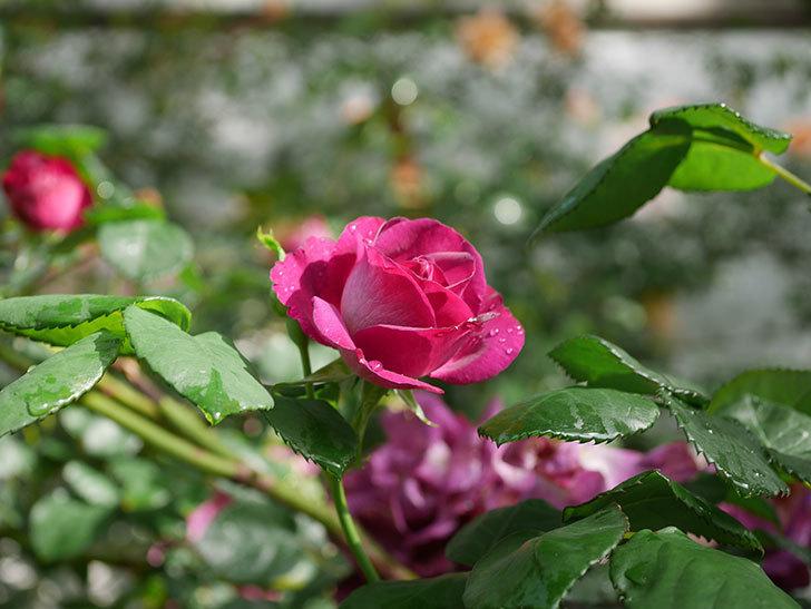 ソニャドール(ツルバラ)の花が満開になった。2020年-033.jpg