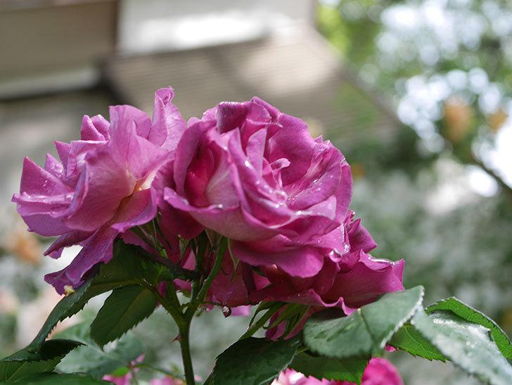 ソニャドール(ツルバラ)の花が満開になった。2020年-034.jpg