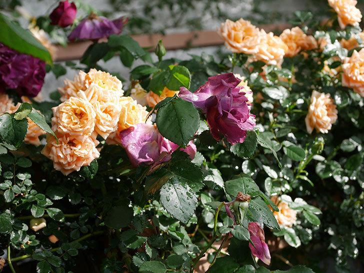 ソニャドール(ツルバラ)の花が満開になった。2020年-036.jpg