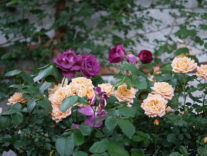 ソニャドール(ツルバラ)の花が満開になった。2020年-037.jpg