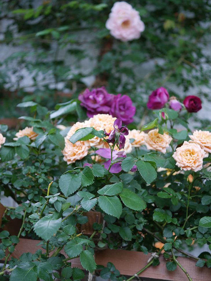 ソニャドール(ツルバラ)の花が満開になった。2020年-038.jpg