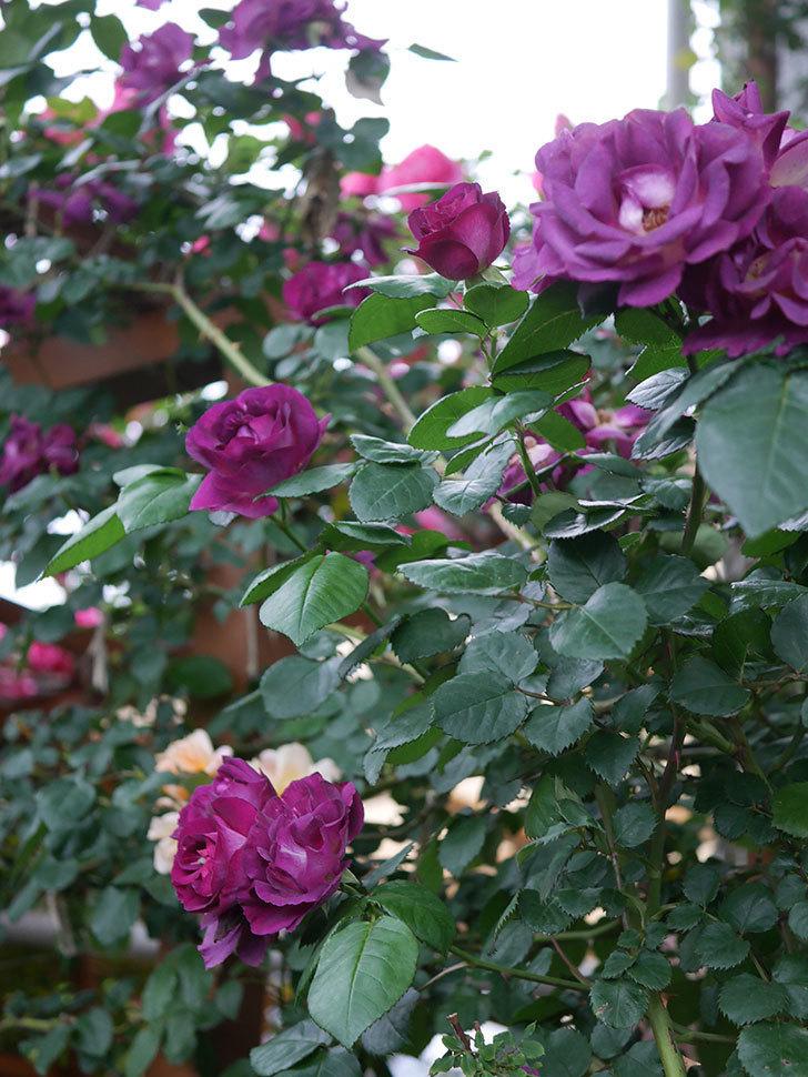 ソニャドール(ツルバラ)の花が満開になった。2020年-040.jpg