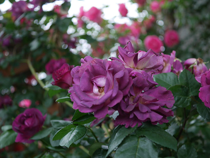 ソニャドール(ツルバラ)の花が満開になった。2020年-042.jpg