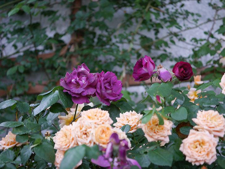 ソニャドール(ツルバラ)の花が満開になった。2020年-043.jpg