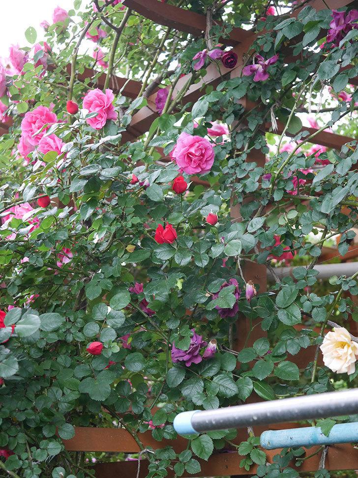 ソニャドール(ツルバラ)の花が満開になった。2020年-044.jpg