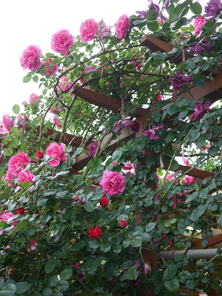 ソニャドール(ツルバラ)の花が満開になった。2020年-045.jpg