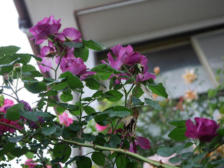 ソニャドール(ツルバラ)の花が満開になった。2020年-049.jpg