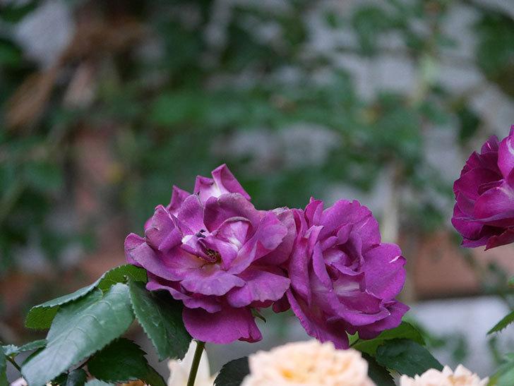 ソニャドール(ツルバラ)の花が満開になった。2020年-050.jpg