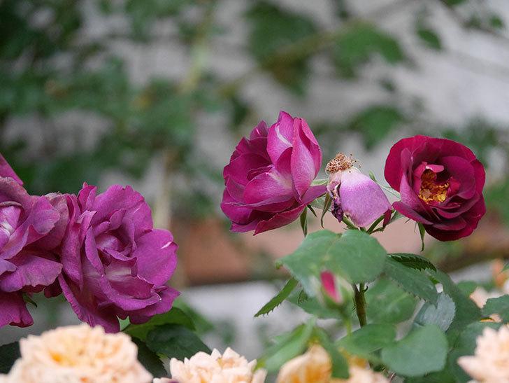 ソニャドール(ツルバラ)の花が満開になった。2020年-051.jpg