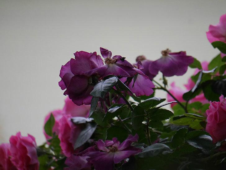 ソニャドール(ツルバラ)の花が満開になった。2020年-052.jpg