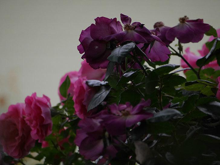 ソニャドール(ツルバラ)の花が満開になった。2020年-053.jpg