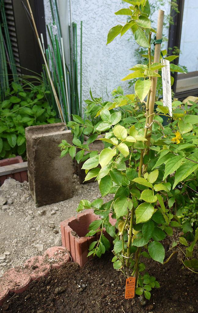 ソニャドール(ツルバラ)の開花株を地植えした。2016年-11.jpg