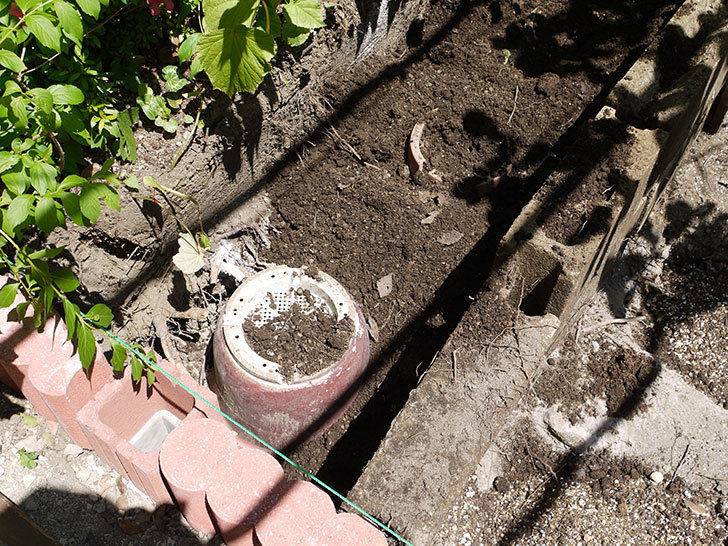 ソニャドール(ツルバラ)の開花株を地植えした。2016年-6.jpg