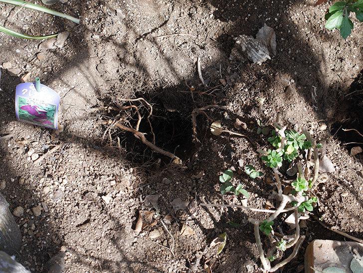 ソニャドール(Sonador)に寒肥を施した。。ツルバラ。2021年-002.jpg