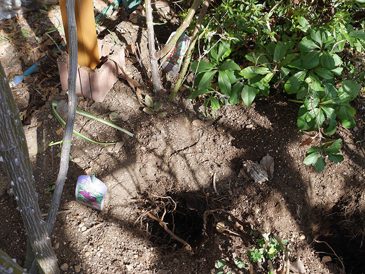 ソニャドール(Sonador)に寒肥を施した。。ツルバラ。2021年-004.jpg