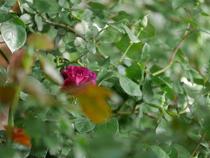 ソニャドール(Sonador)の花が咲いた。ツルバラ。2021年-001.jpg