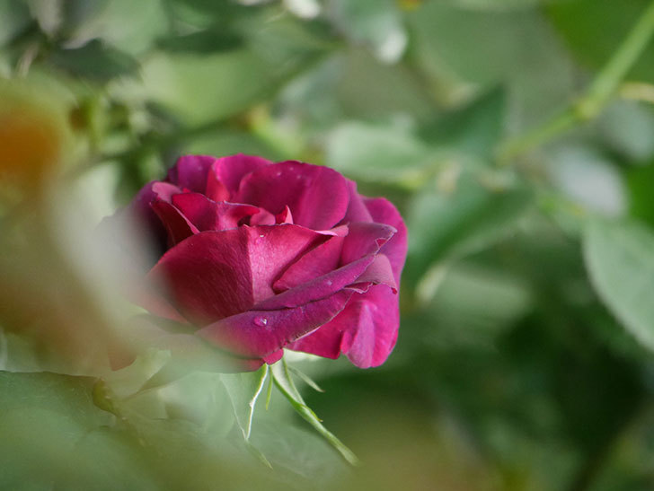 ソニャドール(Sonador)の花が咲いた。ツルバラ。2021年-002.jpg