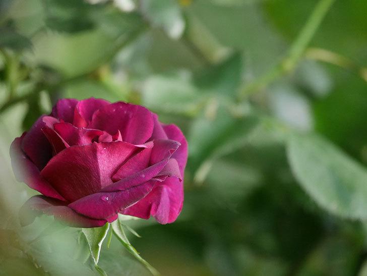ソニャドール(Sonador)の花が咲いた。ツルバラ。2021年-003.jpg