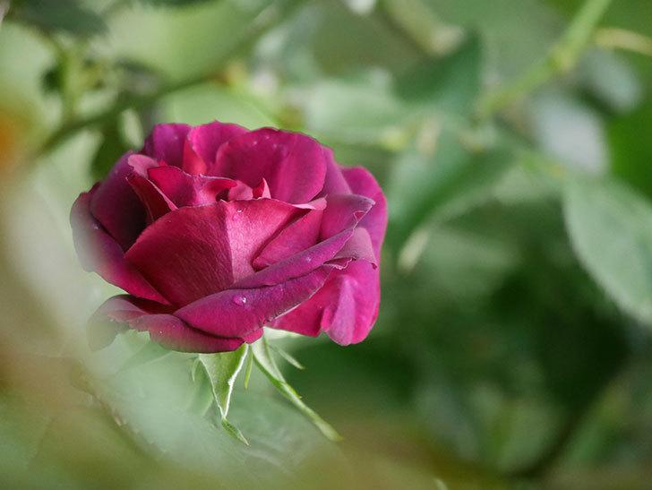 ソニャドール(Sonador)の花が咲いた。ツルバラ。2021年-004.jpg
