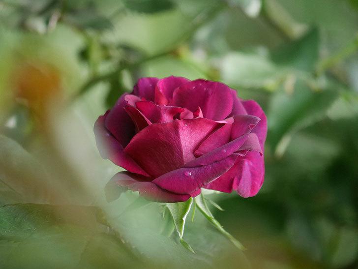 ソニャドール(Sonador)の花が咲いた。ツルバラ。2021年-005.jpg