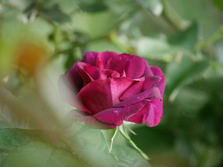 ソニャドール(Sonador)の花が咲いた。ツルバラ。2021年-006.jpg