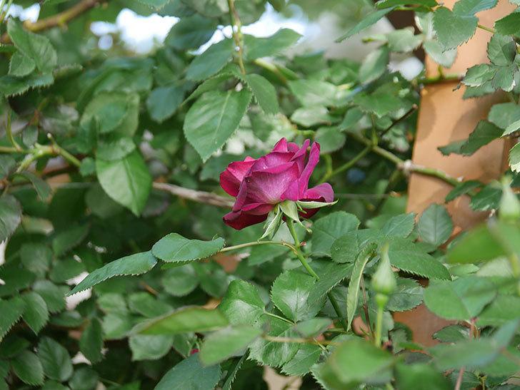 ソニャドール(Sonador)の花が咲いた。ツルバラ。2021年-007.jpg