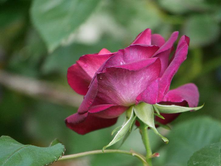 ソニャドール(Sonador)の花が咲いた。ツルバラ。2021年-009.jpg