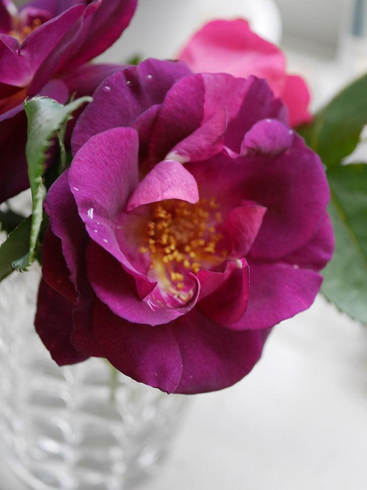 ソニャドール(Sonador)の花が咲いた。ツルバラ。2021年-013.jpg