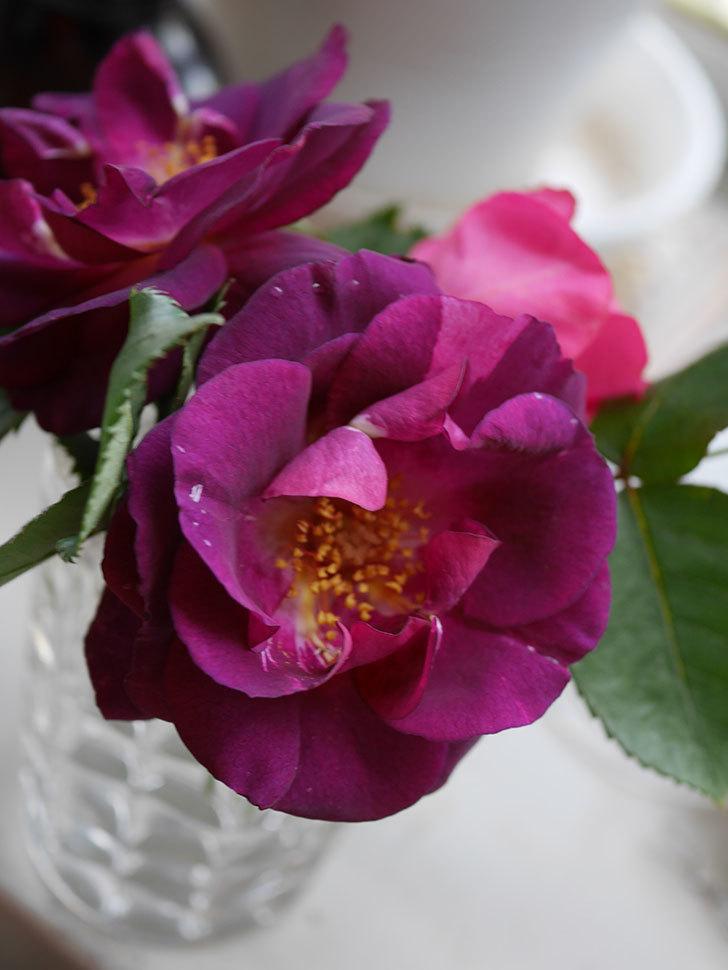 ソニャドール(Sonador)の花が咲いた。ツルバラ。2021年-014.jpg